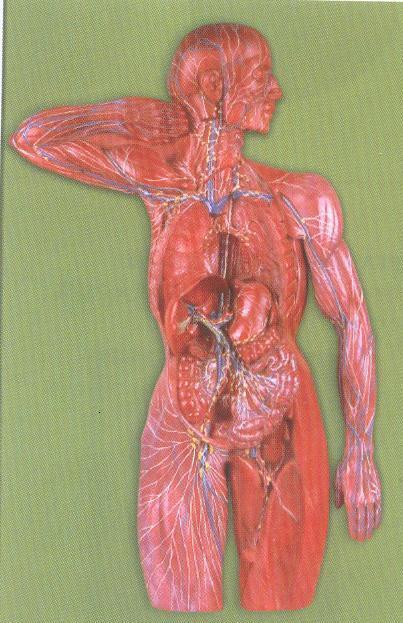 脉管系统结构示意图