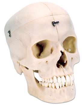头颅骨模型,4部分 郑州舒百康医学仪器设备有限公司